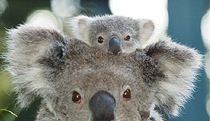 Billabong Koala and Wildlife Park - Newcastle Accommodation