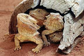 Alice Springs Reptile Centre - Newcastle Accommodation
