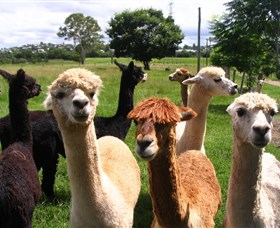 Banyandah Alpacas - Newcastle Accommodation