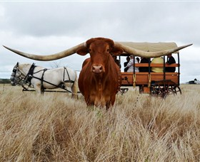 Texas Longhorn Wagon Tours and Safaris - Newcastle Accommodation