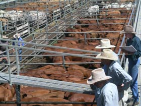 Dalrymple Sales Yards - Cattle Sales - Newcastle Accommodation