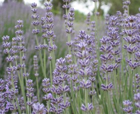 Warratina Lavender Farm - Newcastle Accommodation