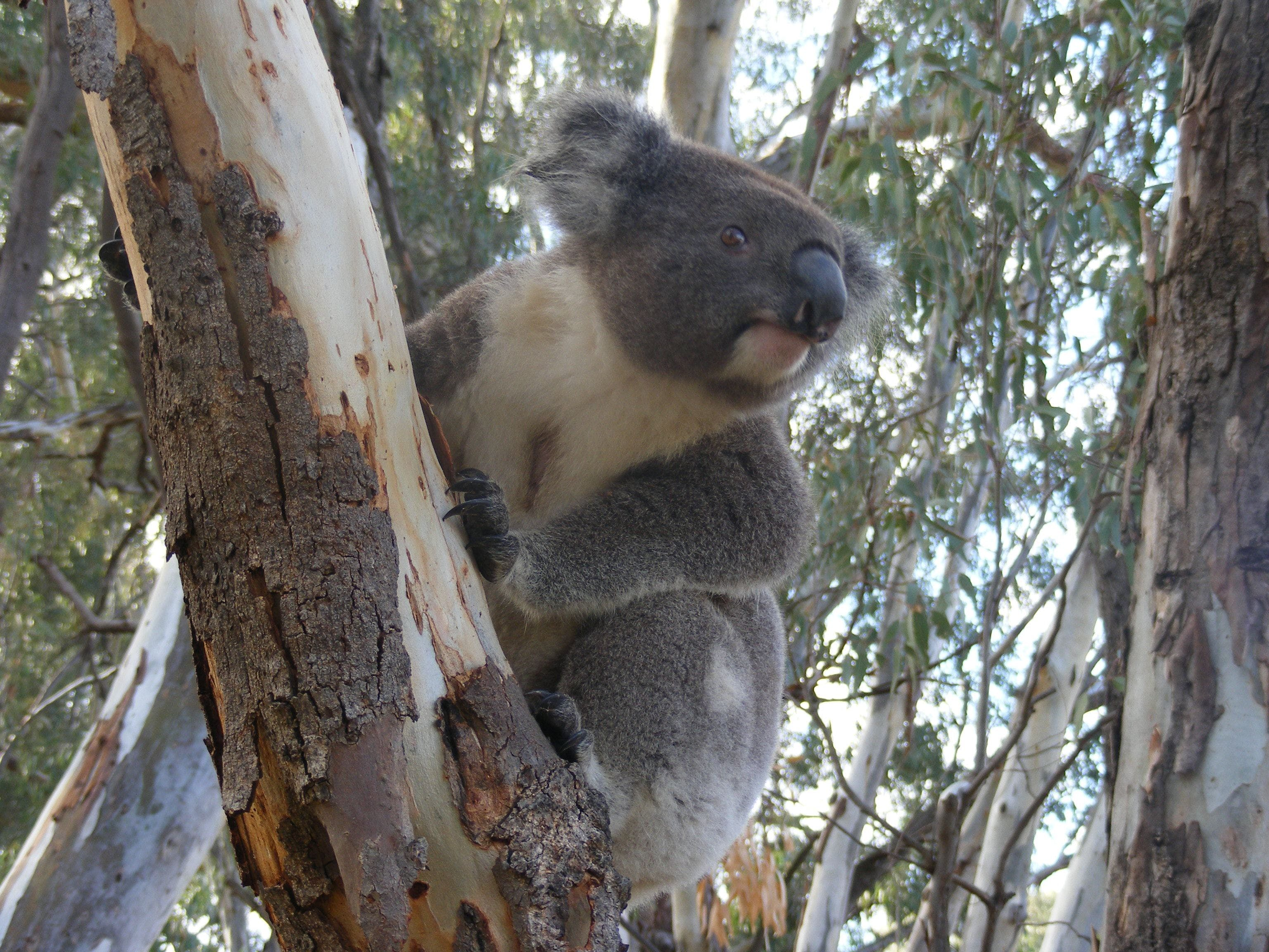 Annual Koala Count - Newcastle Accommodation