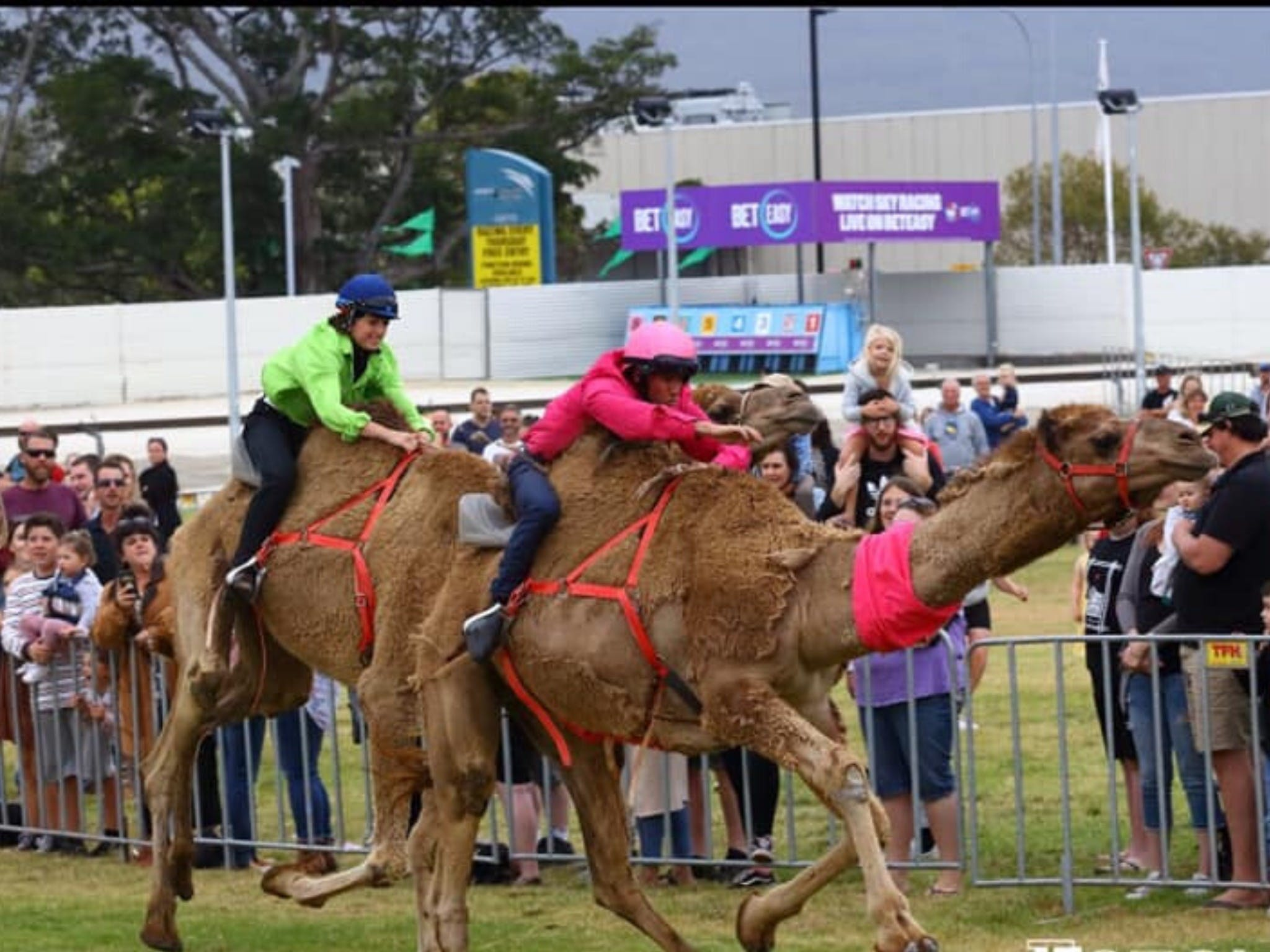 Camel Races at Gosford Showgrounds - Newcastle Accommodation